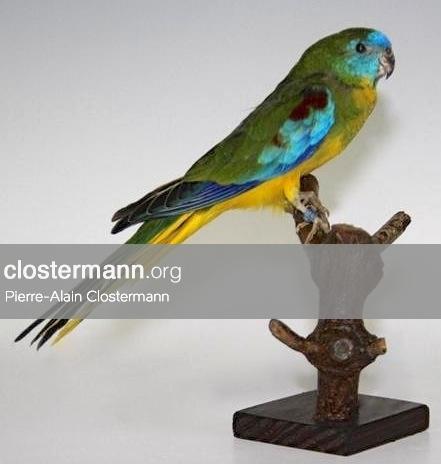 Turquoisine Parakeet (Neophema pulchella) - ringed
